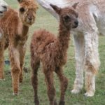 Our first alpaca