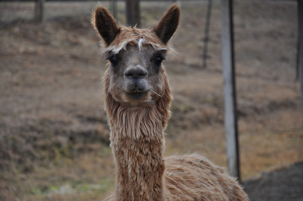 pitty-pat-use-on-alpacas-page